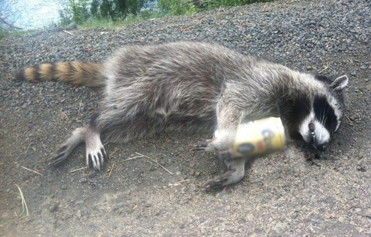 Картинка пьяный енот