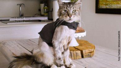 Conoce al primer gato que le fue implantado marcapasos en Colombia