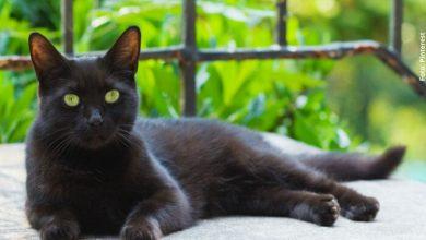10 datos curiosos sobre los gatos negros