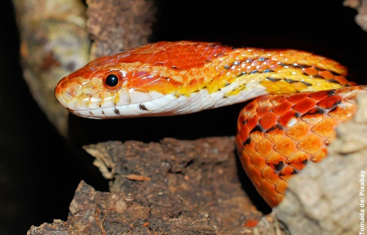 serpiente naranja