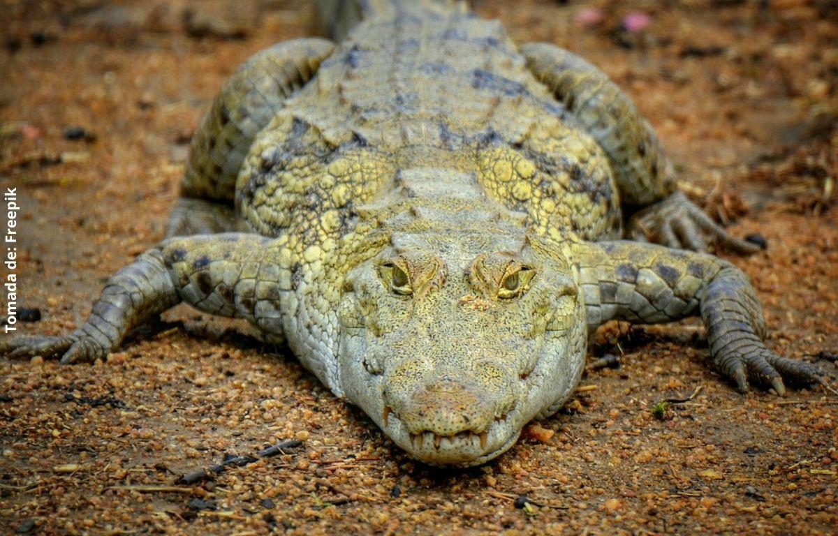 foto de un cocodrilo verde