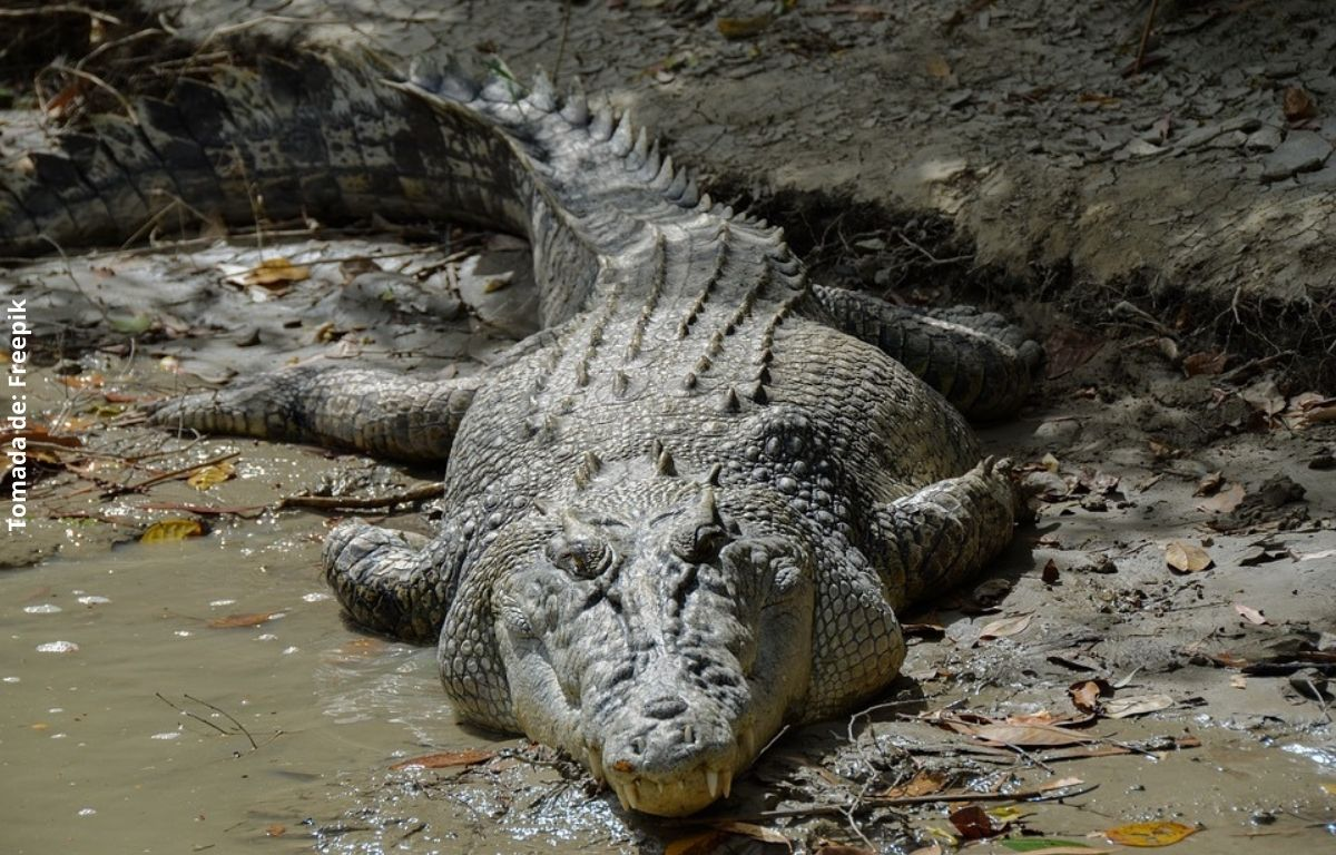 foto de un cocodrilo en medio del barro