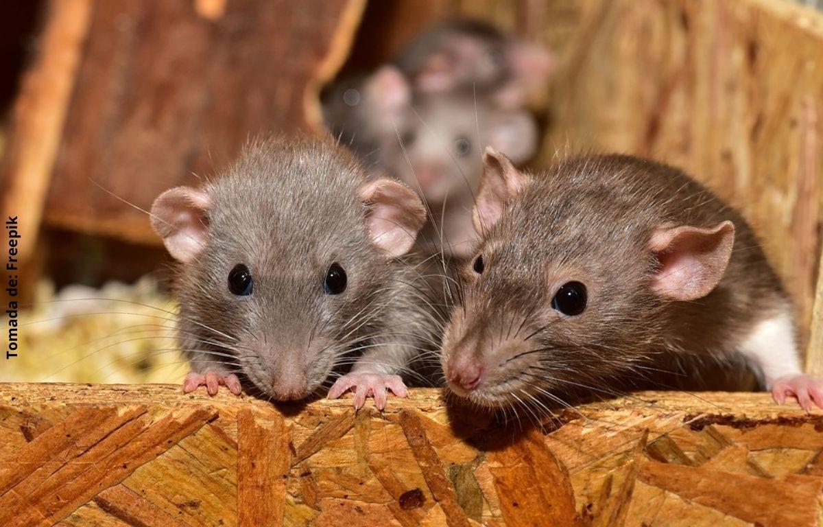 foto de varias ratas