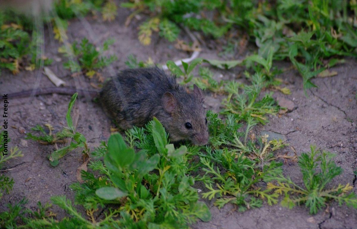 foto de una rata