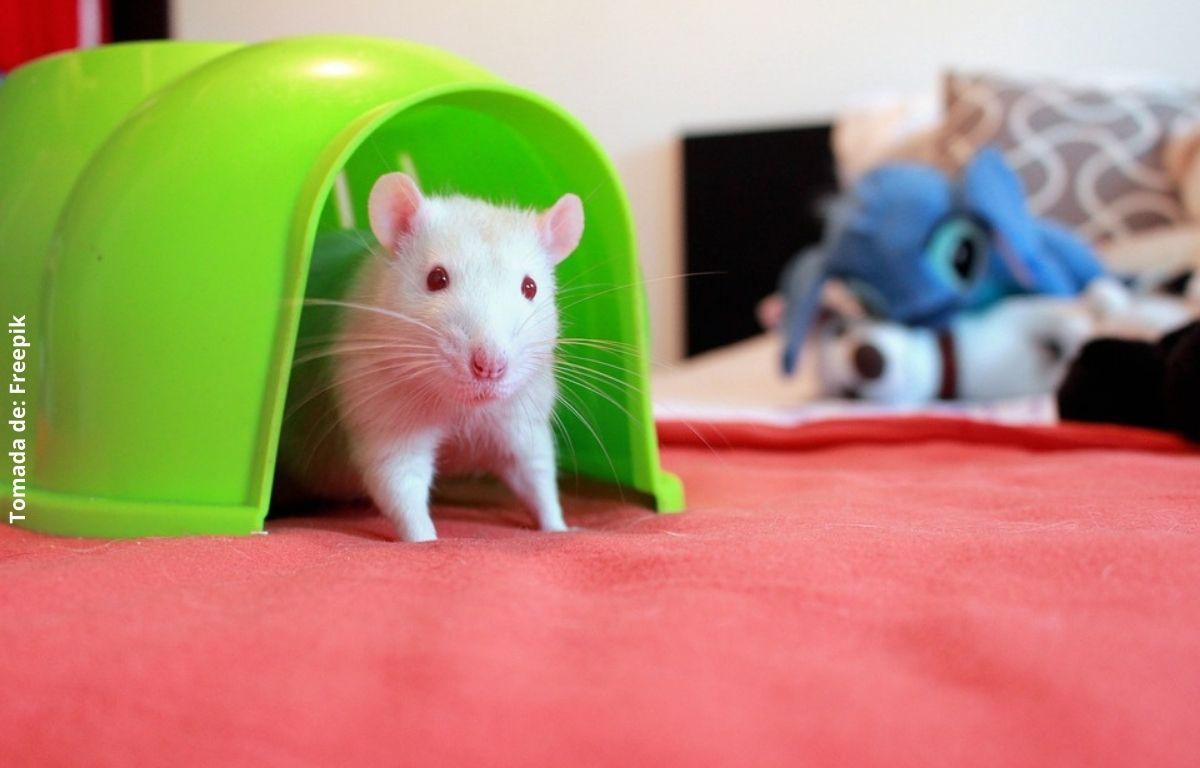 foto de una rata blanca