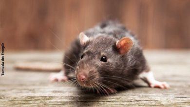 Soñar con ratas, ¿qué significa?