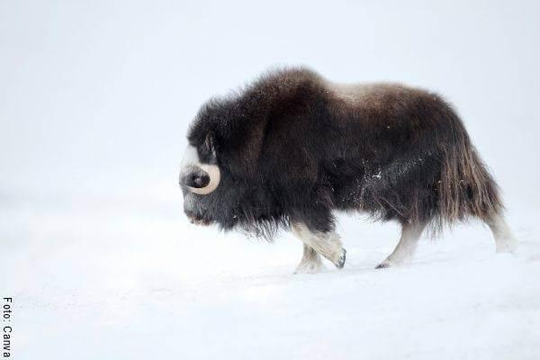 Foto para ilustrar el Año del Buey según el Horóscopo Chino