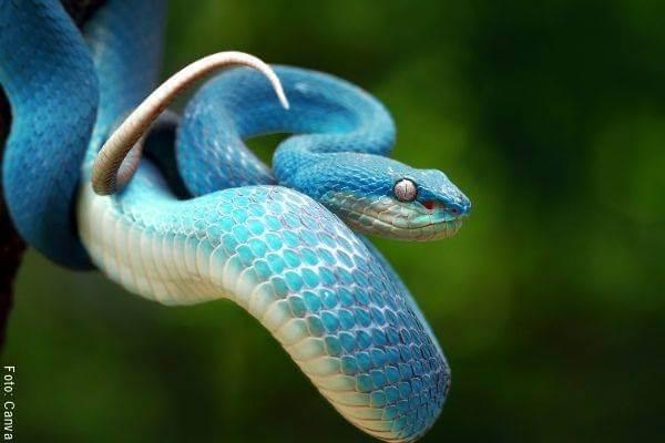 Foto de una serpiente azul