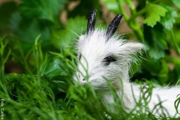 Foto de una cabra bebé blanca