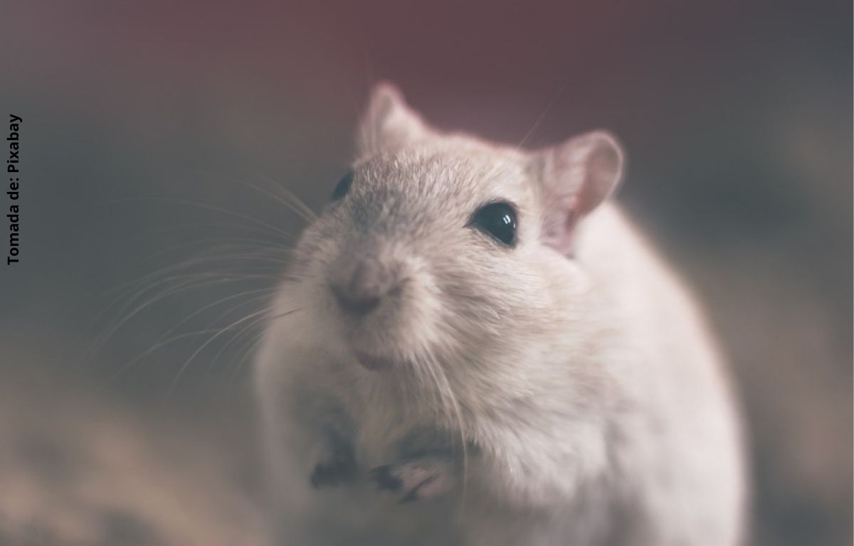 foto de un ratón