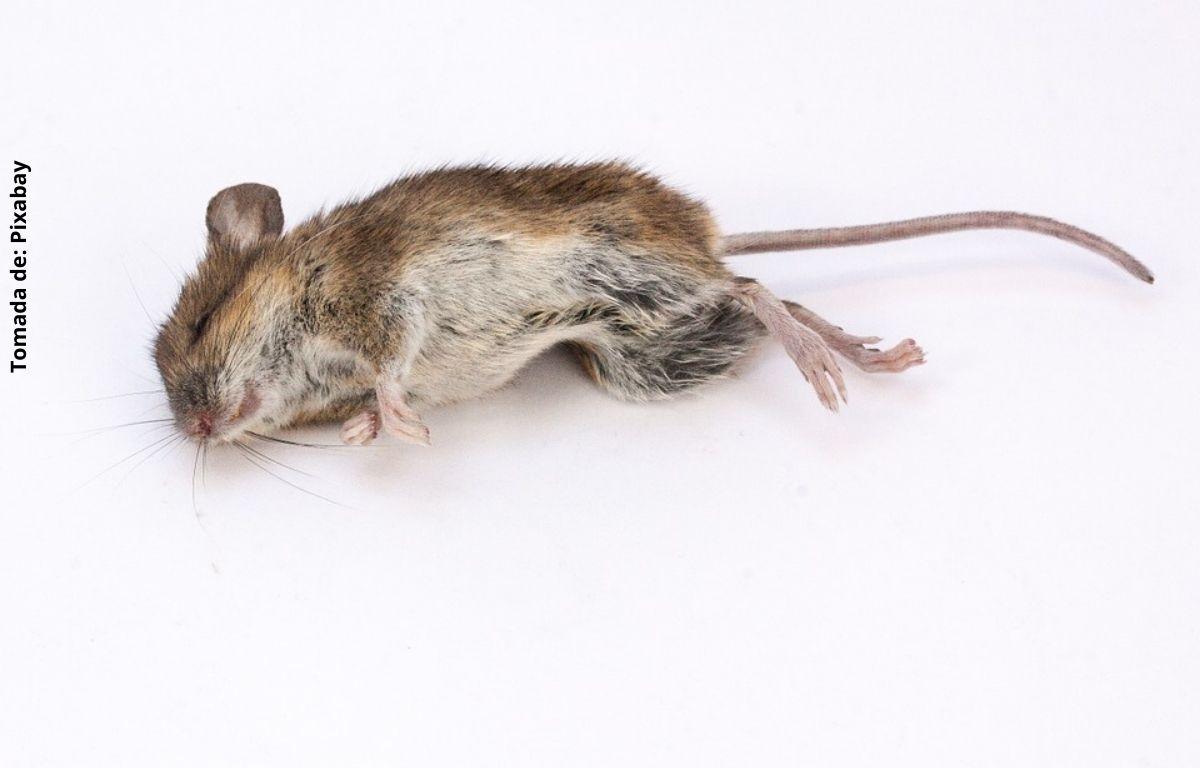 foto de un ratón muerto