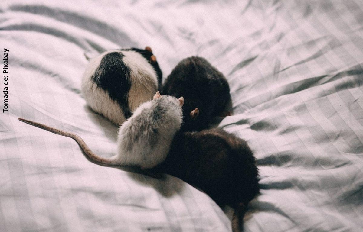 foto de varios ratones