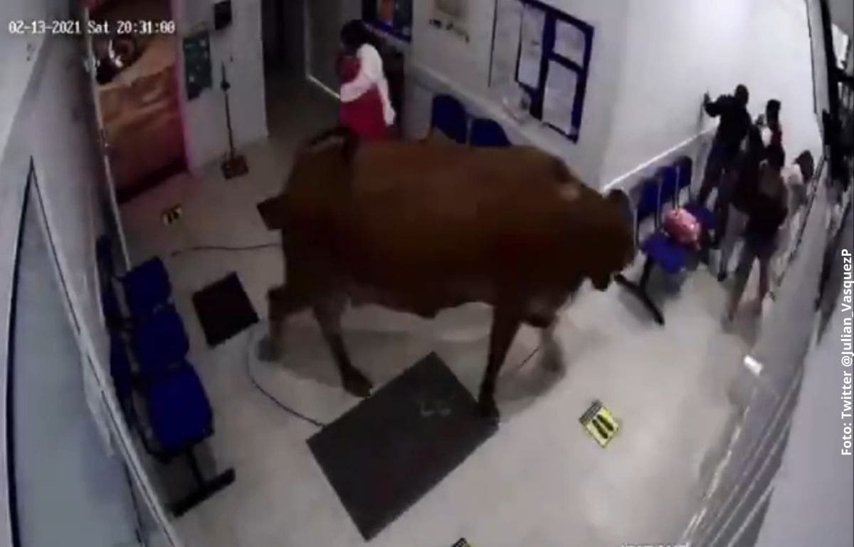 Una vaca se coló en hospital e hizo estragos
