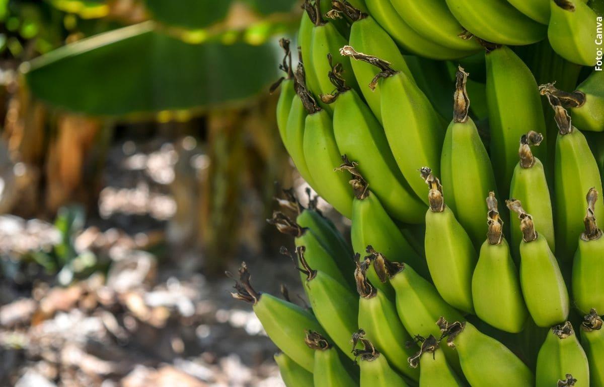 Personas se ganaron el chance con número que salió en un plátano