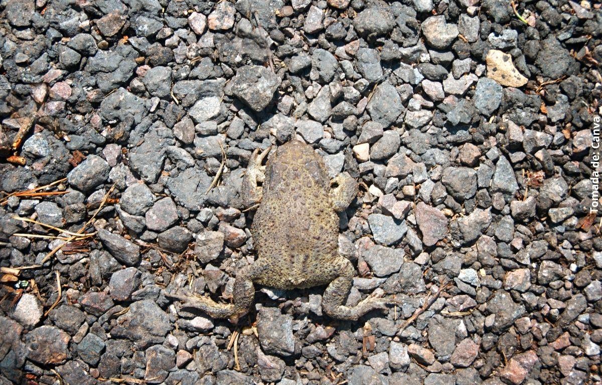 foto de un sapo