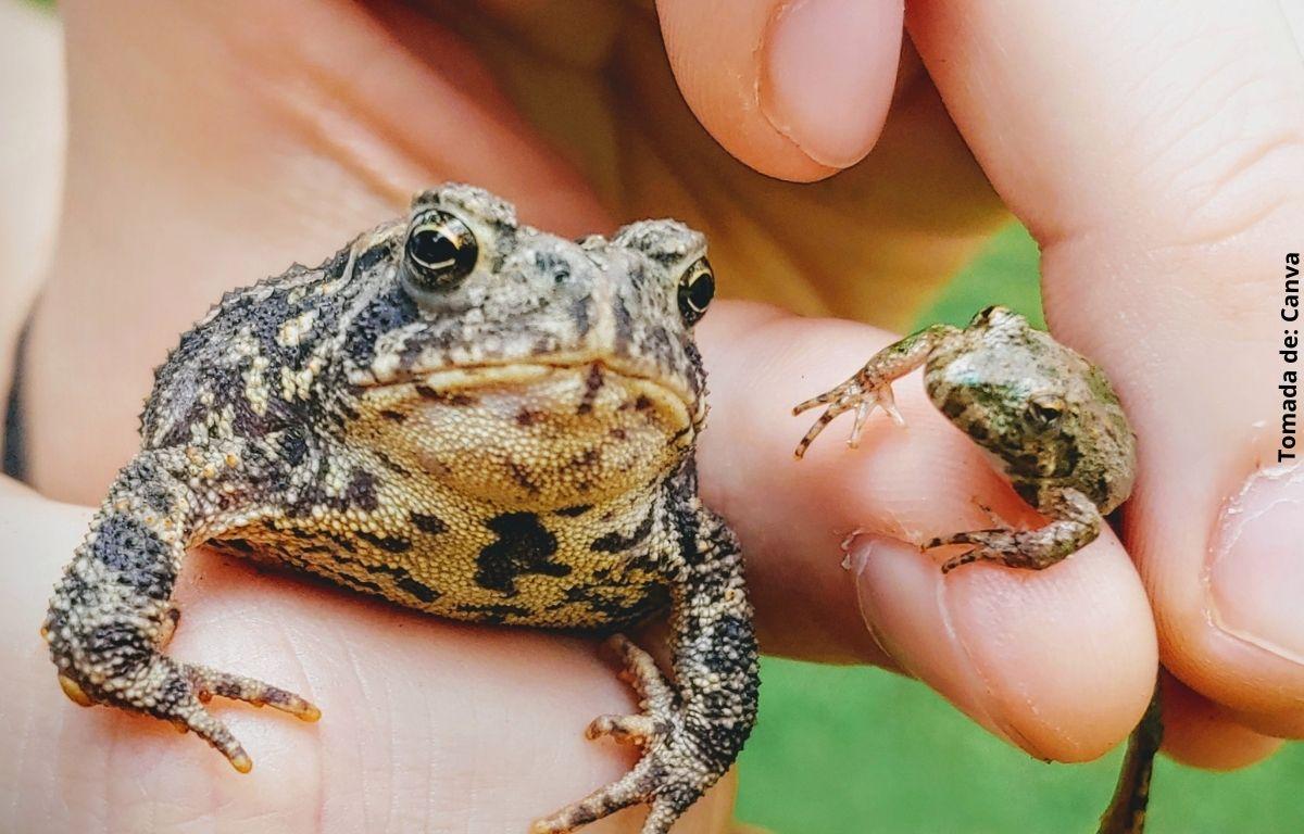 foto de un sapo y una rana