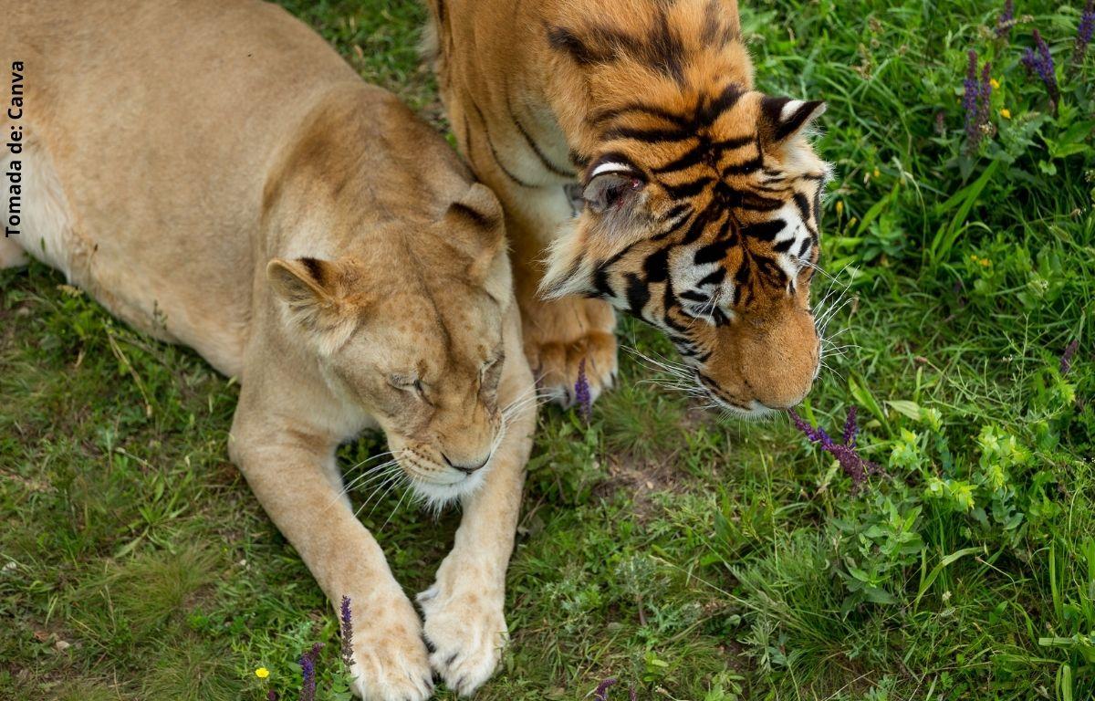 foto de una leona y un tigre