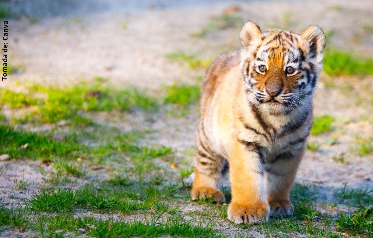 foto de un tigre cachorro