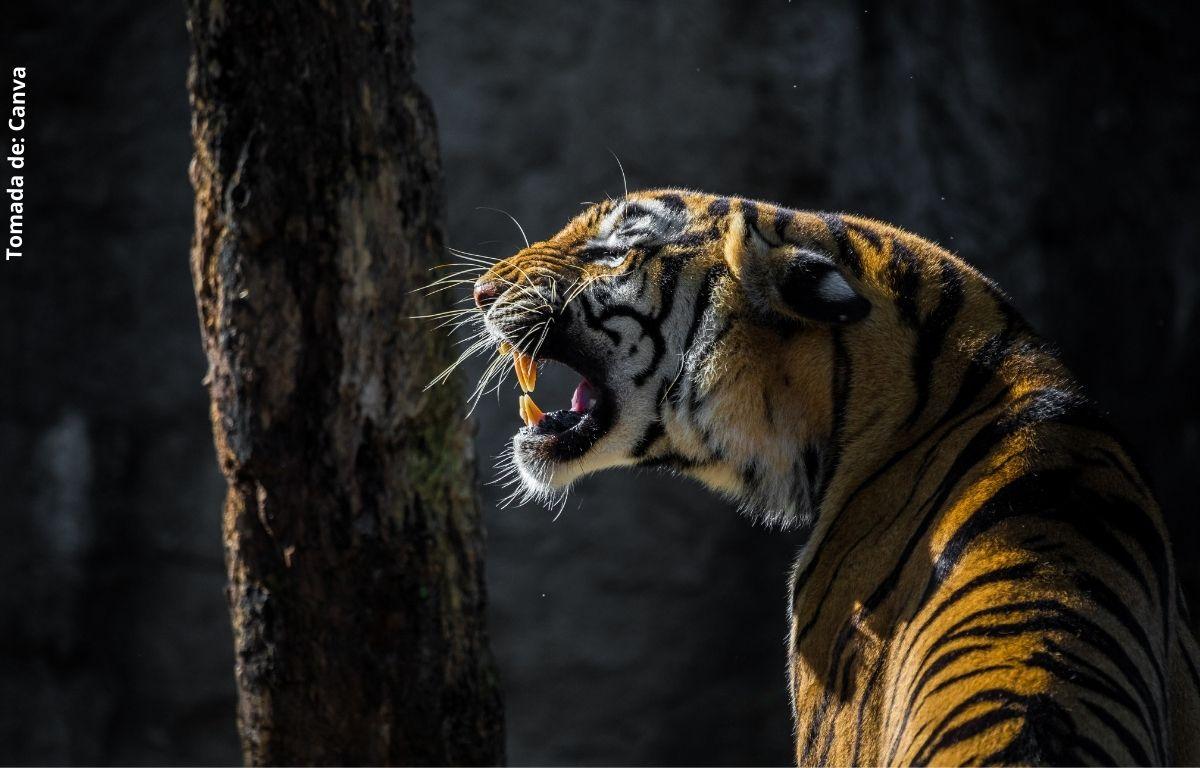 foto de un tigre