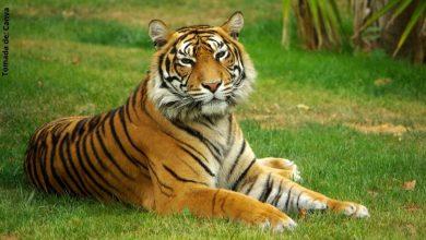 ¿Qué significa soñar con tigres?