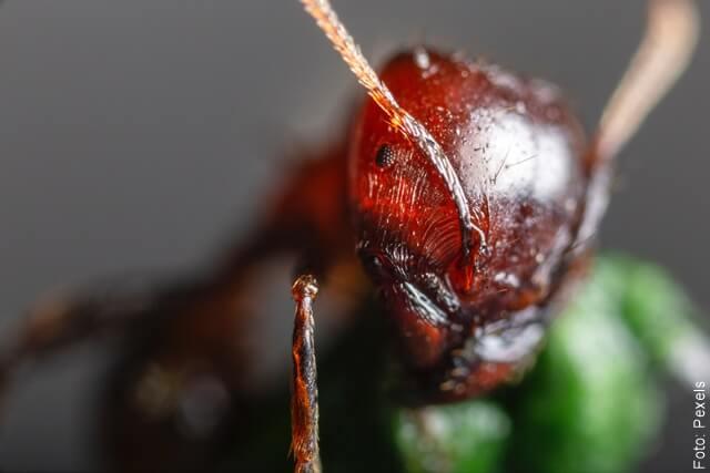foto de una hormiga roja