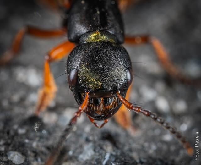 foto de una hormiga negra