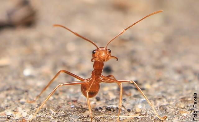 foto de hormiga fuerte