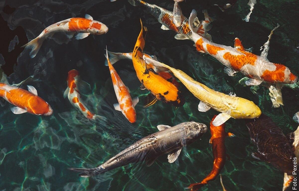 Soñar con peces es muy positivo, ¡prepárate para triunfar!