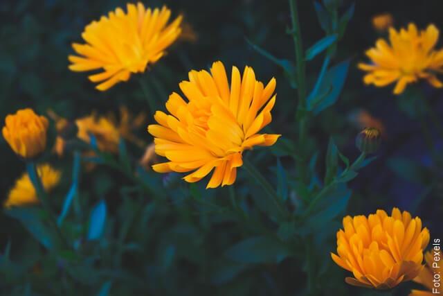 foto de varias flores de caléndula