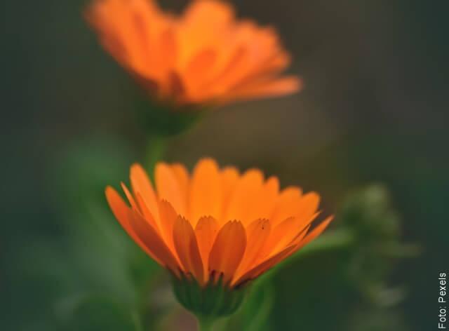 foto de dos flores de caléndula