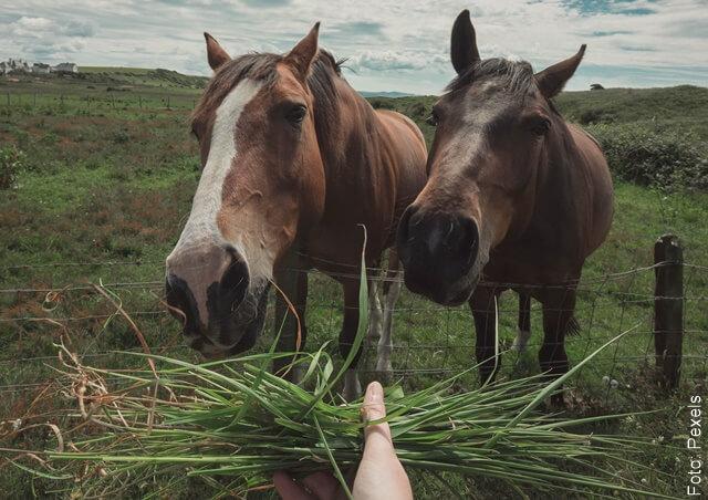 foto de dos caballos comiendo pasto