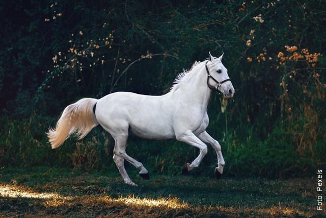 foto de caballo blanco