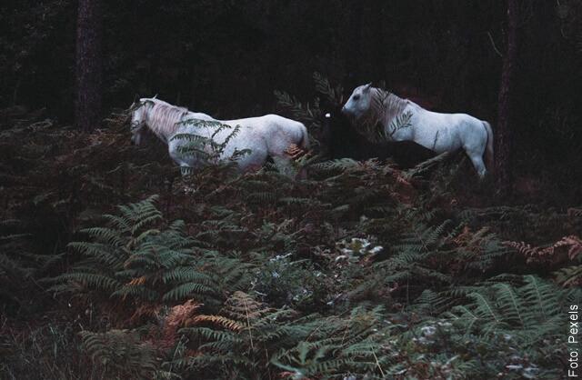 foto de dos caballos en el bosque