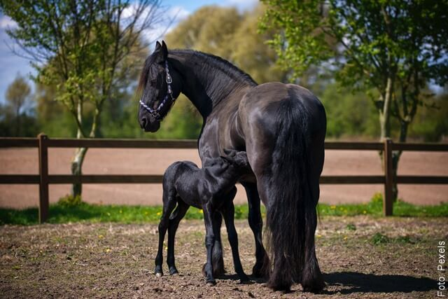 foto de caballos negros