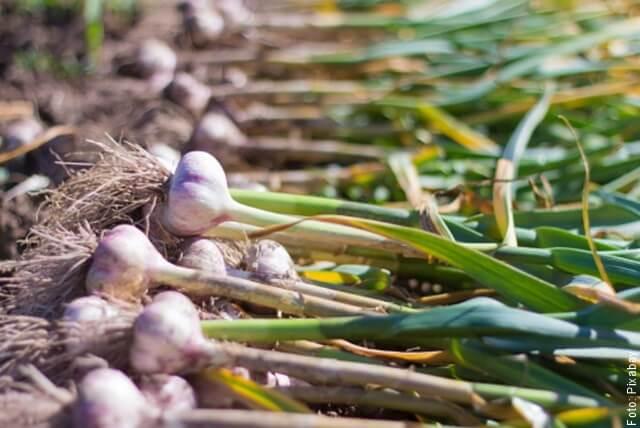 foto de cosecha de ajo