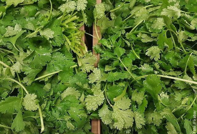 foto de ramas de cilantro
