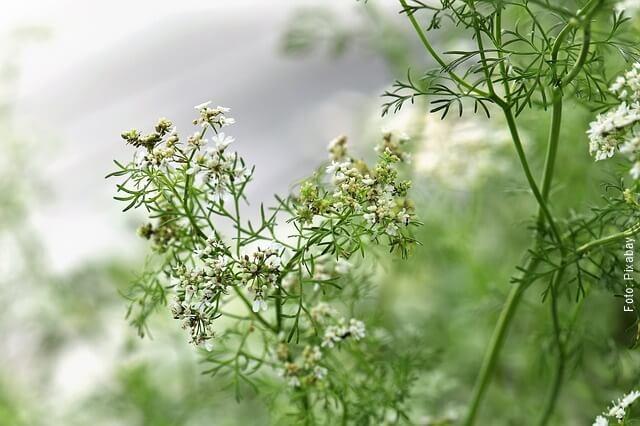 foto de flores de cilantro