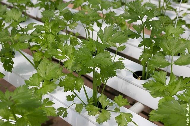 foto de plantas de cilantro