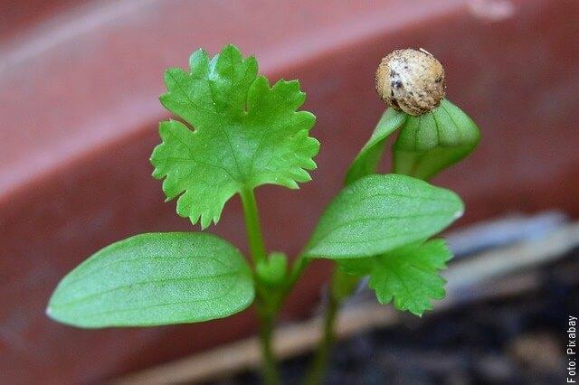 foto de plántula de cilantro