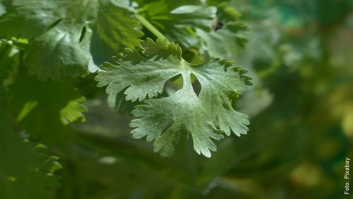 ¿Cómo sembrar cilantro? Tenerlo siempre a mano es muy fácil