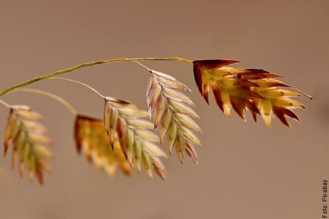 foto de avena en rama