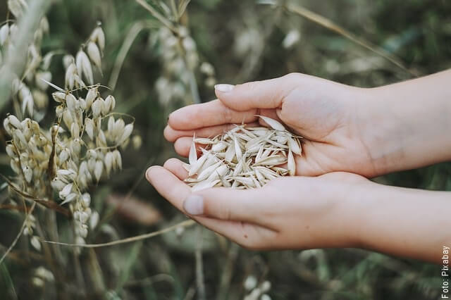 foto de granos de avena