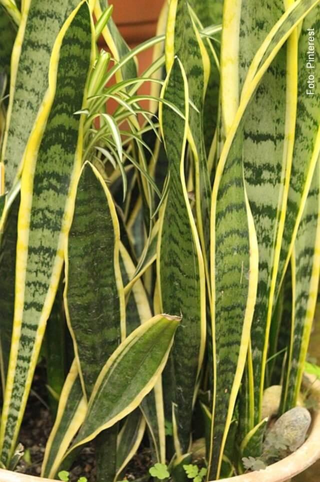 foto de hojas de lengua de suegra