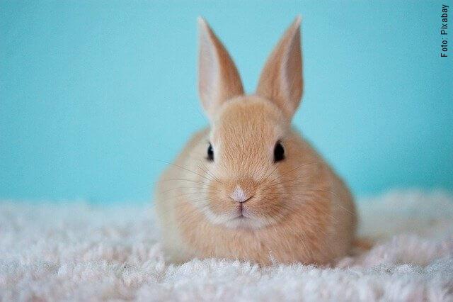 foto de conejo café