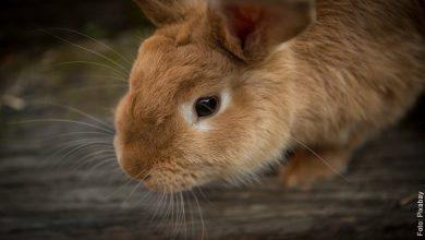 Lo que significa soñar con conejos y la buena suerte que traen