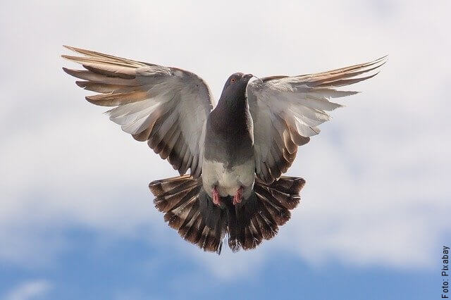 foto de una paloma