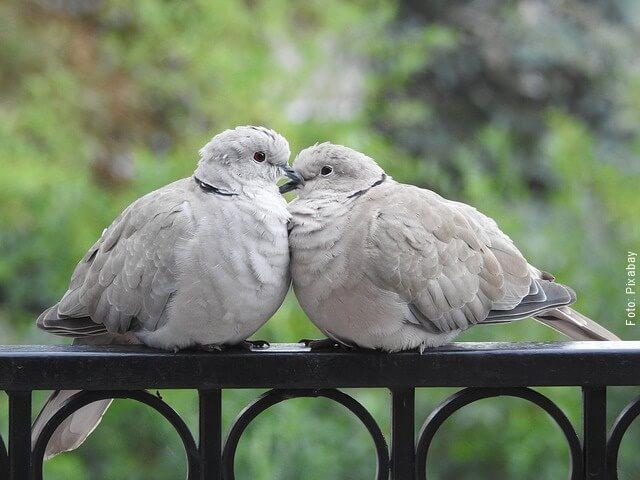 foto de pichones de paloma