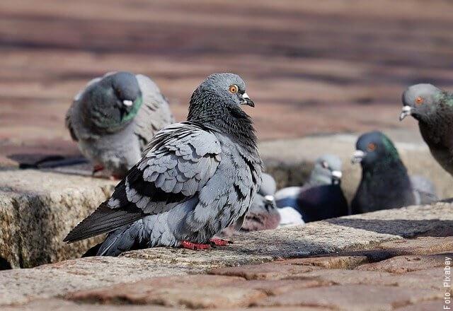 foto de palomas grises
