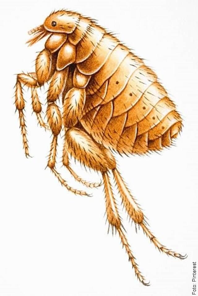 ilustración de pulgas