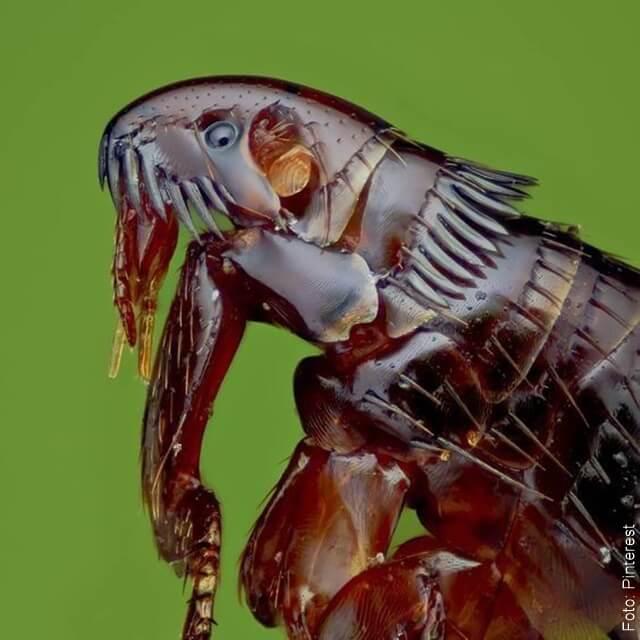 foto de una pulga negra